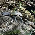 Three Turtles by Robin Maria Pedrero