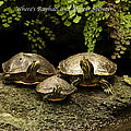 Three Turtles by Thomas Woolworth