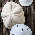 Three Types Of Sand Dollars by Garry Gay