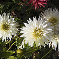 Three White Dahlias by Nafets Nuarb