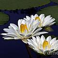 Three White Tropical Water Lilies Version 2 by Byron Varvarigos