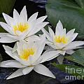 Three White Waterlilies by Kerstin Ivarsson