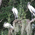 Three Wood Storks by Ellen Meakin