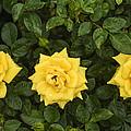 Three Yellow Roses by Vishwanath Bhat