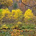 Three Yellow Trees by John M Bailey