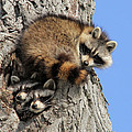 Three Young Raccoons by Doris Potter