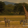 Three Zebras And A Giraffe by J L Woody Wooden