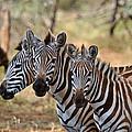 Three Zebras by Mark Rasmussen
