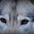 Through A Wolf's Eyes by Karen Lester