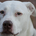 Through The Eyes Of A Pitbull II  by Saija  Lehtonen