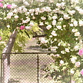 Through The Rose Arbor by Elaine Teague