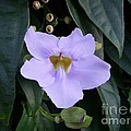 Thunbergia by Mary Deal