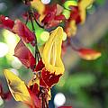 Thunbergia Mysorensis - Trumpetvine by Sharon Mau