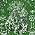 Thuroidea From Kunstformen Der Natur by Ernst Haeckel