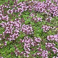 Thyme (thymus Vulgaris) by Science Photo Library