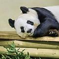 Tian Tian The Giant Panda by Tylie Duff