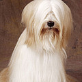 Tibetan Terrier Dog by John Daniels