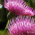 Tickled Thistle by Keri West