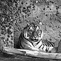 Tiger by Becca Buecher