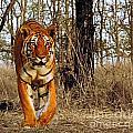 Tiger 1 by Ben Yassa