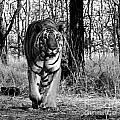 Tiger 2 by Ben Yassa