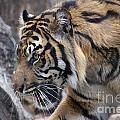 Sumatran Tiger-5418 by Gary Gingrich Galleries