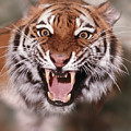 Tiger by Animal Images