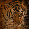Tiger Art by Cindy Haggerty