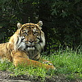 Tiger At Rest by Lingfai Leung