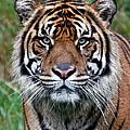 Tiger Stripes by Athena Mckinzie