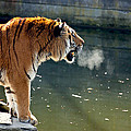 Tiger Breathing Into Cold Air By The Water by Pati Photography