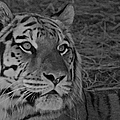 Tiger Bw by Ernie Echols