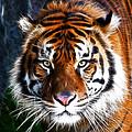 Tiger Close Up by Steve McKinzie
