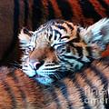 Tiger Cub Nap by Ron  Tackett