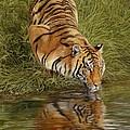 Tiger by David Stribbling
