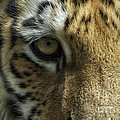 Tiger Eyes by Thomas Woolworth