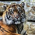 Tiger Facing The Crowd by Terri Morris