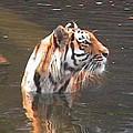 Tiger Getting Wet by Daniel Henning