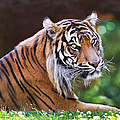 Tiger In The Sun Painting by Athena Mckinzie