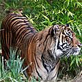 Tiger In The Vast Jungles by Athena Mckinzie