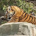 Tiger by Joyce Charron
