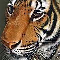 Tiger by Jurek Zamoyski