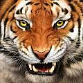 Tiger by Karen Kutoloski