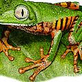 Tiger-legged Monkey Frog by Roger Hall