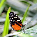 Tiger Longwing Butterfly by Amanda Mohler
