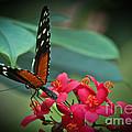 Tiger Longwing Butterfly by Joann Copeland-Paul