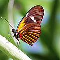 00012 Tiger Longwing  by Photographic Art by Russel Ray Photos