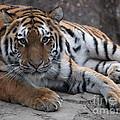 Tiger Love by Jennifer Craft