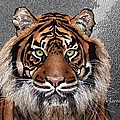 Tiger by Marie Clark