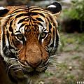 Tiger  by Michael Key